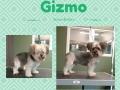 Gizmo (1)