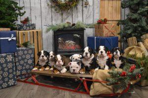 Christmas Pet Photos